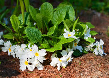 White primula Stock Images