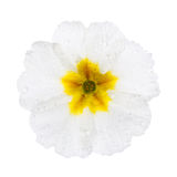 White  Primula with dew drops Stock Image