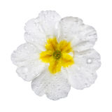 White  Primula with dew drops Royalty Free Stock Photos