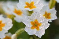 White primula flower with morning dew on petals Royalty Free Stock Photography