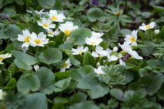 White primula in flowerbed. Spring day in the park, primroses royalty free stock photo