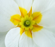 White primula flowers Royalty Free Stock Photography