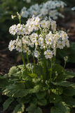 White primula flowers Royalty Free Stock Photos