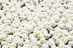 White Primula flowers Stock Photos
