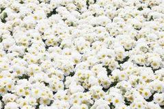 White Primula flowers Stock Photos