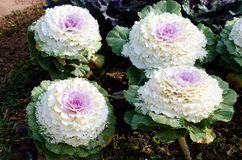 White with prple decorative cabbage. White with purple decorative cabbage as background royalty free stock image