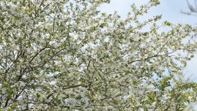 White Prunus Cerasus Blossoms Against Blue Sky Early Spring. White flowers of Prunus cerasus blossoms against blue sky early spring. Cherry tree flowers and blue stock video footage