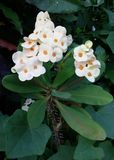 White Puay-sian flower Royalty Free Stock Photos