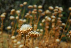 A field of puffy cotton like weeds with a couple in the foreground. White, puffy, stringy cottony weeds along side a road with a bunch more in the out of focus royalty free stock photography