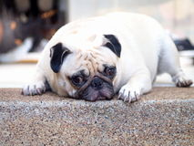 White pug dog laying on a floor Royalty Free Stock Photography