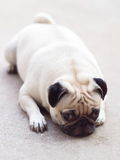 White pug dog laying on a floor Royalty Free Stock Photos