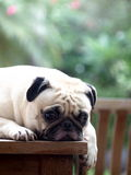 White pug dog laying on a table Stock Photography