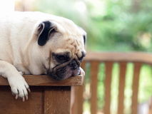 White pug dog laying on a table Stock Image