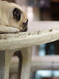 White pug dog laying on a table Royalty Free Stock Photo