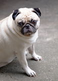 White pug on the floor Stock Photography