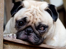 White pug laying on a table Royalty Free Stock Photos