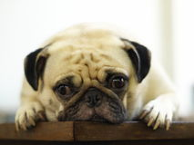 White pug laying on a table Stock Photography
