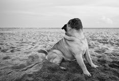 White pug poses at the beach. In black and white Stock Photo