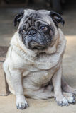 White pug sided on a floor Stock Image