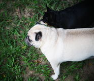 White pug with a small black miniature pincher Stock Image