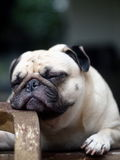 White Pug on a table Stock Images