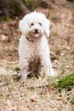 White Puli Stock Photography