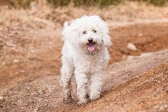White Puli Royalty Free Stock Photo