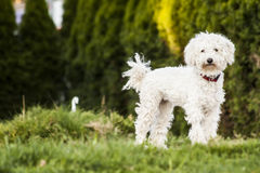 White Puli Royalty Free Stock Image