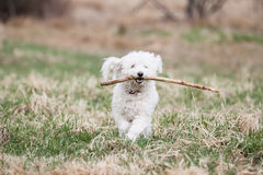 White Puli Royalty Free Stock Images