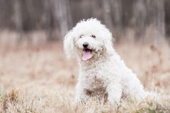 White Puli Royalty Free Stock Photos