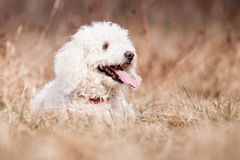 White Puli Stock Photo