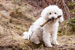 White Puli Stock Images