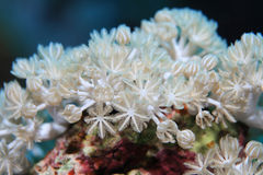 White pulse coral. Xenia umbellata underwater in the coral reef of the Red Sea royalty free stock photos