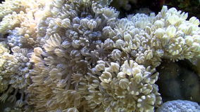 White pulse soft coral Royalty Free Stock Photo