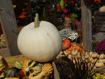 White pumpkin in fall market background. White pumpkin with fall gourds on crates in market stock photo