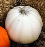 White Pumpkin Nestled in Hay Bales. At local farmstand Stock Image