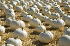 White pumpkin patch Royalty Free Stock Image