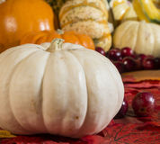 White pumpkin. Sits in front of other pumpkins stock images
