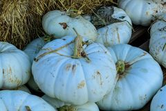 White Pumpkin Squash. Multiple white pumpkin squash with hay Royalty Free Stock Photo
