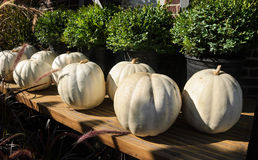 White Pumpkins Stock Photography