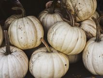 White pumpkins for Halloween. With a vintage feel, and copy space, also known as Casper pumpkins, scientific name Cucurbita pepo Stock Photos