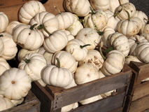 White Pumpkins royalty free stock images