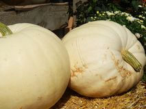 White pumpkins on straw bale. Close up of two fall white pumpkins with chrysanthemums on hay bale royalty free stock images