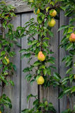 fall pears on a vertical wall Stock Images