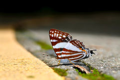 White punch butterfly Royalty Free Stock Images