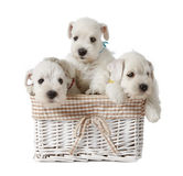 White puppies royalty free stock photos