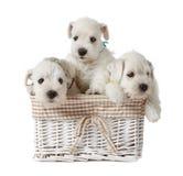 White puppies Royalty Free Stock Photos