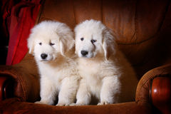 White puppies Stock Image