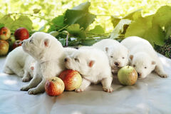 White puppies. With apples at summer stock photography