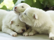White puppies. On the leaves backround stock images
